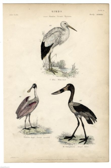 1864 PRINT BIRDS White Stork SENEGAL JABIRU Saddle Billed SPOONBILL Hand Colour